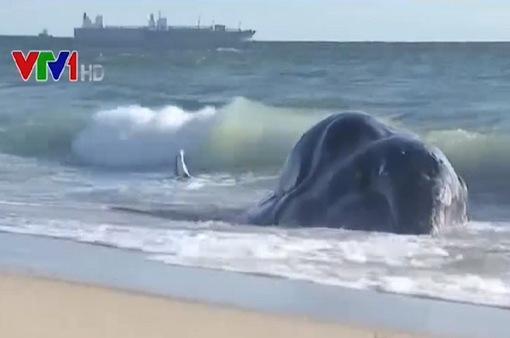4 xác cá voi xám dạt vào bờ biển San Francisco