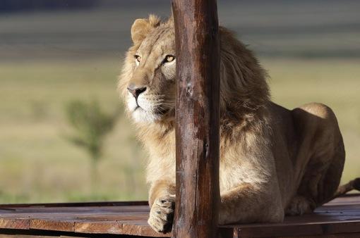 Nam Phi hướng tới cấm nuôi nhốt sư tử để kinh doanh du lịch