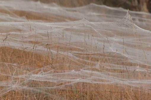 Vì sao hàng loạt mạng nhện phủ trắng các khu vực của bang Victoria, Australia?