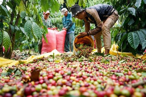 Giá cà phê lập đỉnh