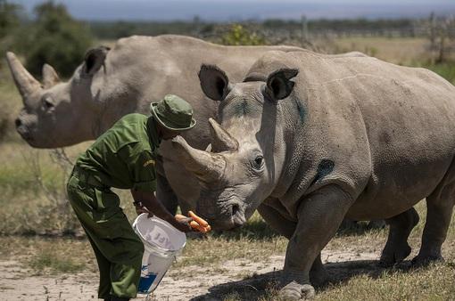 Tạo phôi thai để cứu tê giác trắng phương Bắc khỏi họa tuyệt chủng