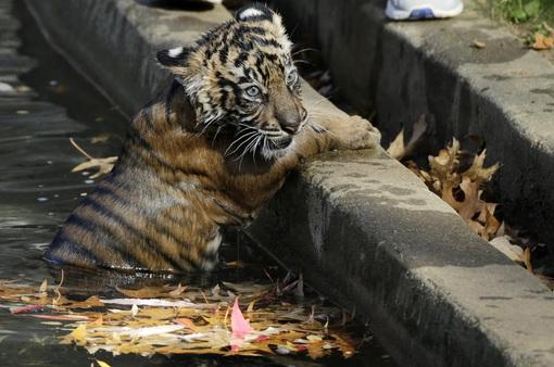 Sư tử, hổ phục hồi sau khi nhiễm COVID-19 tại vườn thú quốc gia ở Washington