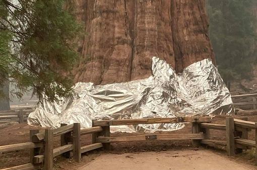 Cháy rừng hoành hành ở California, cây lớn nhất thế giới được bọc trong lớp vải chống lửa