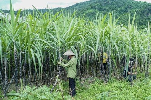 Bộ Công Thương điều tra chống lẩn tránh phòng vệ thương mại sản phẩm đường mía