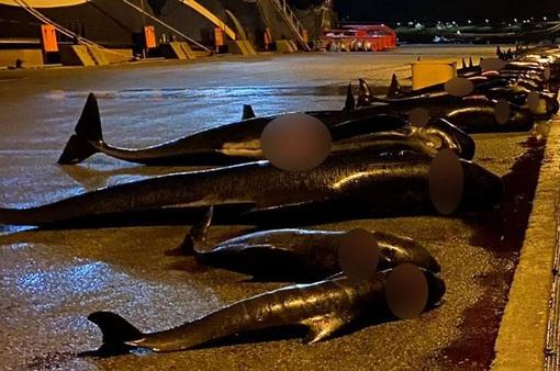 Thêm hàng chục con cá heo bị giết thịt tại quần đảo Faroe