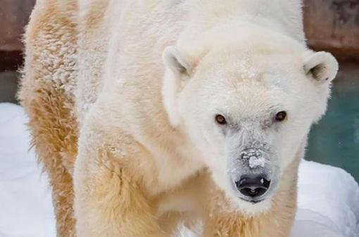 """Gấu Bắc Cực """"cao niên"""" nhất được người chăm sóc qua đời tại vườn thú Milwaukee"""