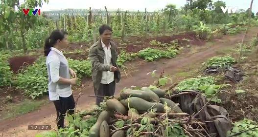 """Đổ xô trồng bí, nông dân Chư Sê trận """"trái đắng"""" vì doanh nghiệp bỏ của chạy lấy người"""