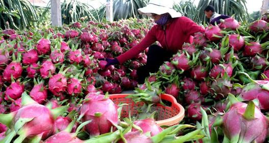 Xuất khẩu rau quả tăng mạnh nhờ nâng cao chất lượng vùng nguyên liệu
