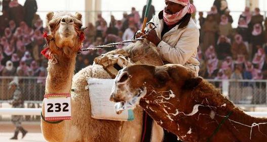 Cuộc thi lạc đà đẹp nhất tại Saudi Arabia