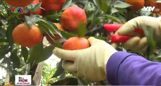 Hòa Bình: Siết chặt quy trình trồng cam đường canh chuẩn VietGap