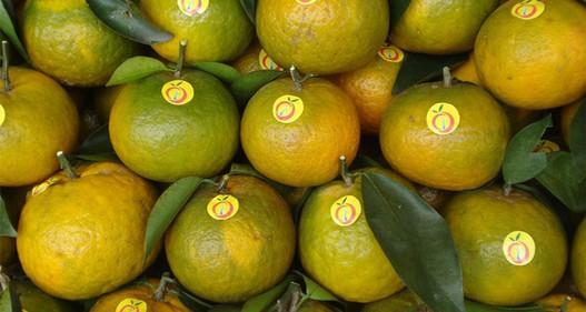130 ha cam sành Hàm Yên được cấp giấy chứng nhận VietGAP
