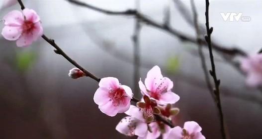 Đào Nhật Tân nở sớm thu hút người dân Hà Nội