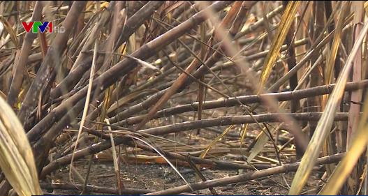 Kẻ gian đốt mía, nông dân thiệt hại nặng