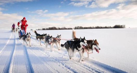 Xe chó kéo - Dịch vụ du lịch siêu hot ở Nga