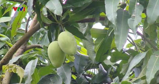 Độc đáo mô hình trồng xoài… qua Internet ở Đồng Tháp