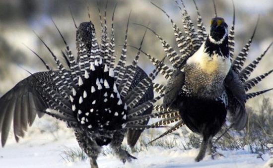 Điệu nhảy ấn tượng của gà gô Gunnison