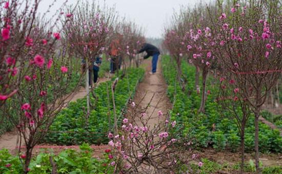 Hà Nội: Vườn đào Tết hứa hẹn mùa bội thu