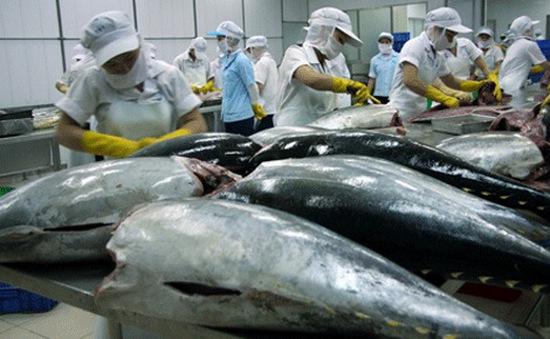 Nhiều DN chưa mạnh dạn tham gia dự án cá ngừ theo chuỗi