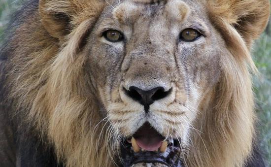 Mỹ: Sư tử xổng chuồng, người dân hoảng hốt