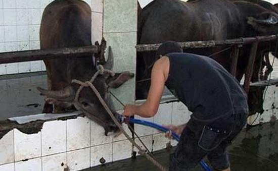 Tây Ninh xử phạt 3 cơ sở bơm nước vào gia súc