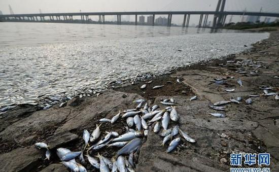 Cá chết trắng sông gần nơi xảy ra vụ nổ Thiên Tân