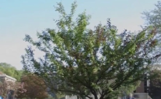 Kỳ lạ cây cho ra 40 loại quả khác nhau
