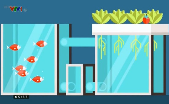 Trồng cà chua và nuôi cá trong hệ thống khép kín