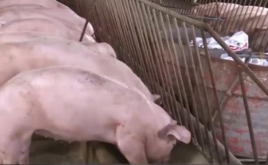 Quảng Bình: Tăng cường quản lý chất cấm trong chăn nuôi