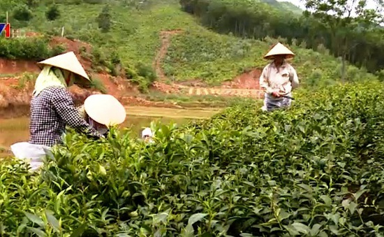 Người trồng chè Thái Nguyên ngóng chờ chỉ đạo trị bọ cánh tơ