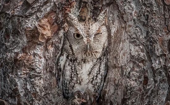 """Kinh ngạc khả năng """"khắc nhập"""" vào thân cây của chim cú"""
