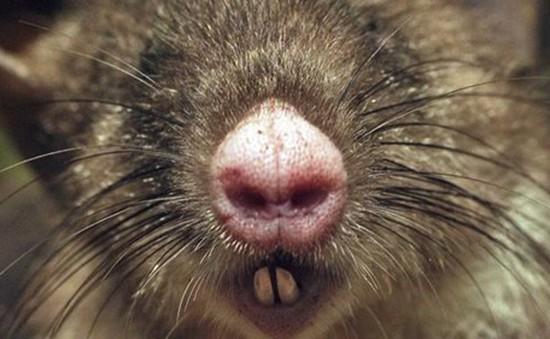 Phát hiện giống chuột mũi heo tại Indonesia