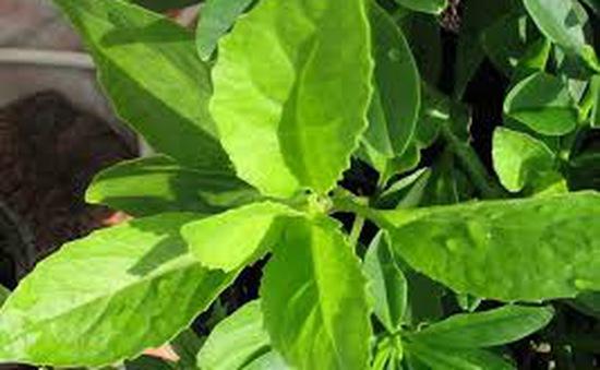 Cỏ ngọt Stevia - Phụ gia hữu ích