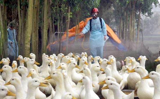 Vĩnh Long: Tái phát dịch cúm H5N1 trên gà