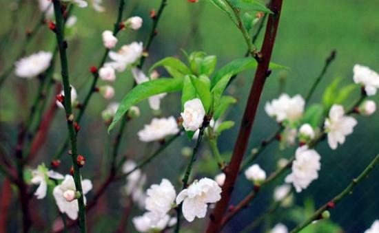Lần đầu tiên nhân giống thành công hoa đào trắng