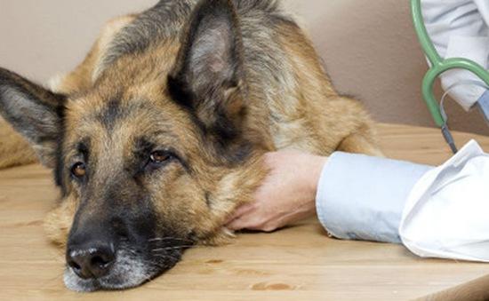 Mỹ bùng phát dịch cúm chó