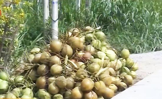 Giá dừa Bến Tre đang giảm mạnh
