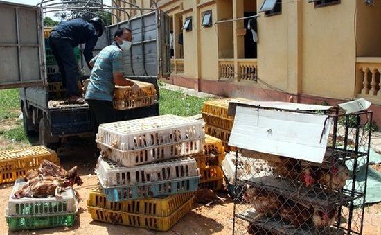 Bắc Kạn: Thu giữ20.000 con gàkhông rõ nguồn gốc