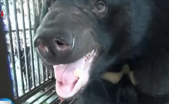 Cứu hộ 8 cá thể gấu tại Quảng Ninh