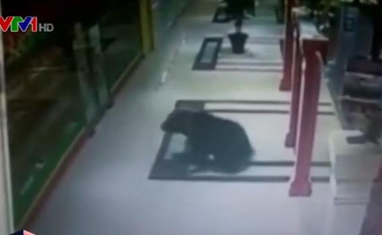 Gấu nâu 'đột nhập' vào siêu thị tại Nga