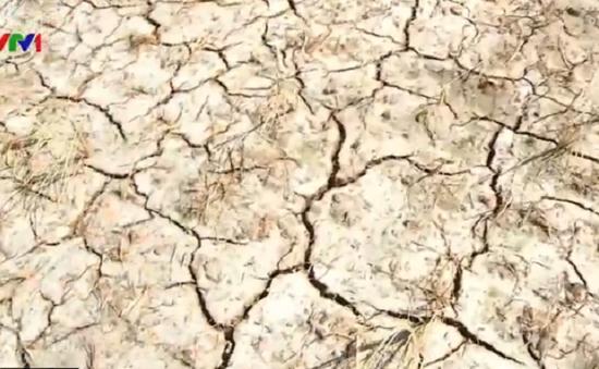 Mất trắng gần 1.000ha lúa ở Tiền Giang do hạn, mặn