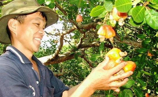 Cải tạo vườn điều gia tăng thu nhập