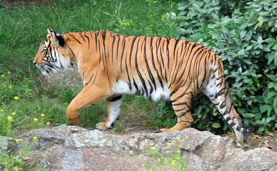 Việt Nam chỉ còn khoảng 20 cá thể hổ ngoài tự nhiên