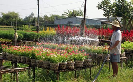 Nông dân miền Trung 'thấp thỏm' vụ hoa Tết