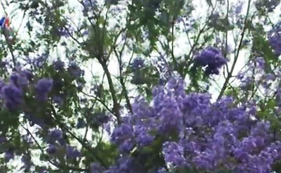 Sức lôi cuốn từ mùa hoa phượng tím Đà Lạt