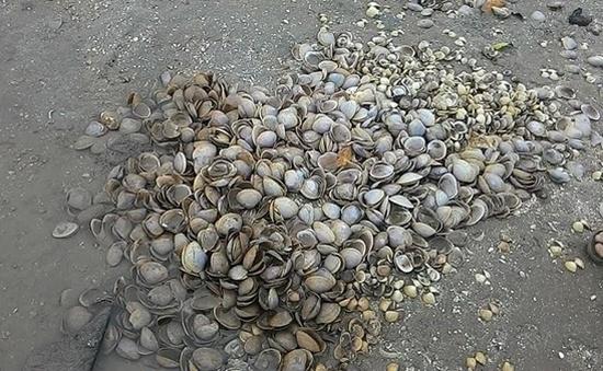 Nghệ An: Ngao chết hàng loạt, thiệt hại 24 tỷ đồng