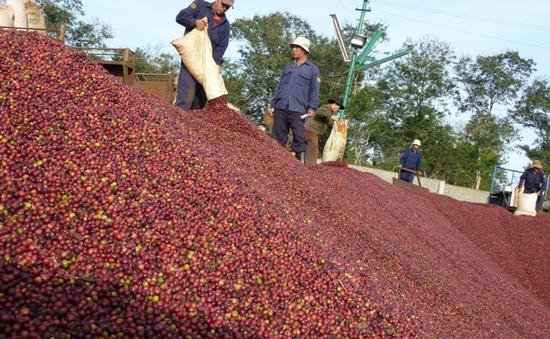Cà phê rớt giá ngay từ đầu mùa