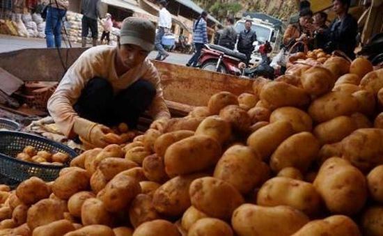 Khoai tây Đà Lạt khan hiếm và tăng giá vào mùa mưa