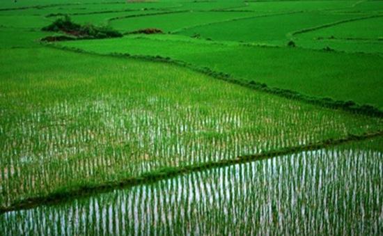 Đất chuyên canh trồng lúa được hỗ trợ 1 triệu đồng/ha/năm