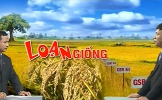 Đứng thứ 2 về xuất khẩu gạo, Việt Nam vẫn chưa có... bộ giống lúa quốc gia