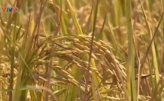 Thu mua tạm trữ 1 triệu tấn gạo vụ Đông Xuân